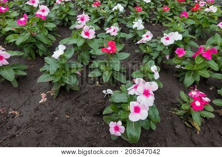 Flowerbed With Lots Of Flowering Catharanthus Roseus