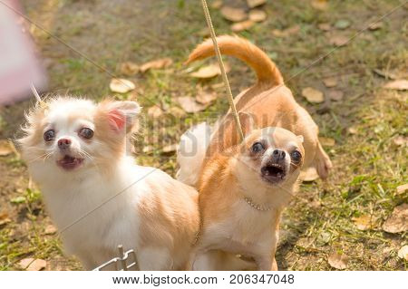 Chihuahua two small dogs with bulging eyes bark at the camera Close-up. Space under the text. 2018 year of the dog in the eastern calendar Concept: parodist dogs, dog friend of man, true friends, rescuers.