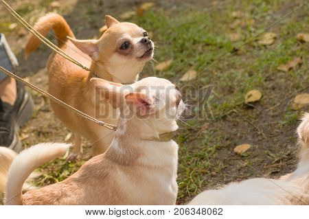 Chihuahua three small dogs on a walk Close-up. Space under the text. 2018 year of the dog in the eastern calendar Concept: parodist dogs, dog friend of man, true friends, rescuers.