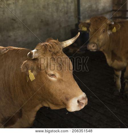 horned limousin cows inside barn on organic farm in the netherlands near utrecht