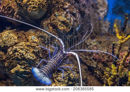Panulirus Versicolor. Blue/green Lobster, Painted Spiny Lobster In Marine Aquarium