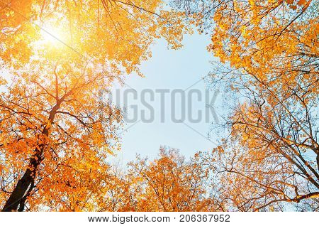 Autumn trees. Orange autumn trees tops on the background of blue sky. Autumn background with golden autumn treetops. Yellowed autumn trees with golden autumn leaves in the park. Autumn background, free space.