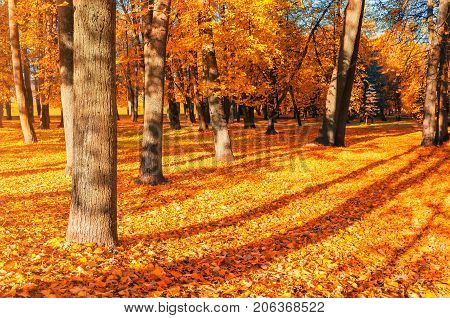 Autumn landscape of sunny autumn park in nice weather. Spreading autumn trees with fallen autumn leaves on the ground. Autumn landscape scene in sunlight. Autumn trees in the park. Sunny autumn nature