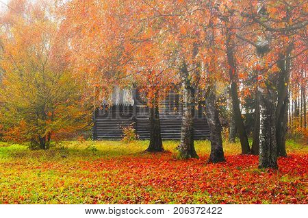 Autumn foggy landscape - wooden house among the yellowed autumn trees. Autumn rural landscape, soft focus applied. Autumn trees with fallen autumn leaves covering the ground. Colorful autumn nature. Autumn forest