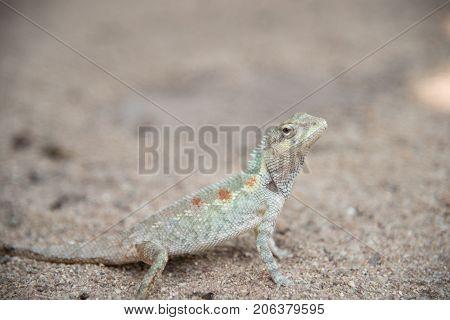 image of chameleon on Sandy floor Natural color change