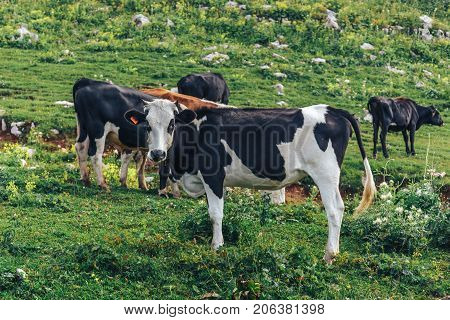 Milk cows grazing on alpine mountains green grass pasture. Cattle on pasture
