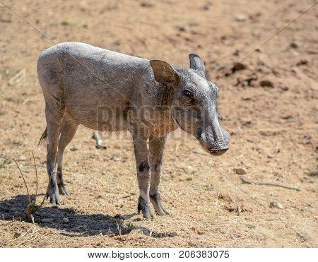 a sunny illuminated warthog in Namibia Africa