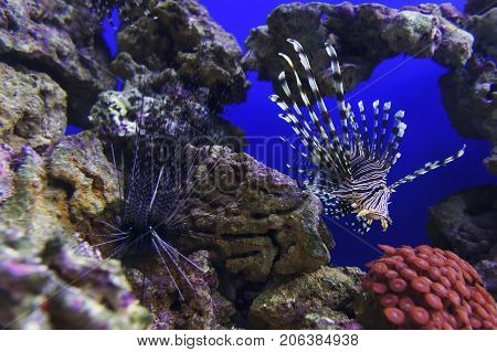 Lionfish with striped pattern on body swims coral reef and sea urchin on stones underwater, diving, sealife, selective focus
