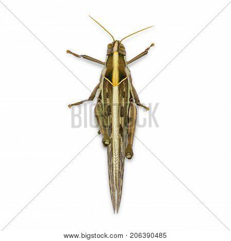 Brown Grasshopper On White