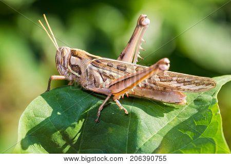 Brown Grasshopper In Nature
