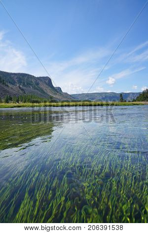 View of Madison river and aquatic plants, Yellowstone Park