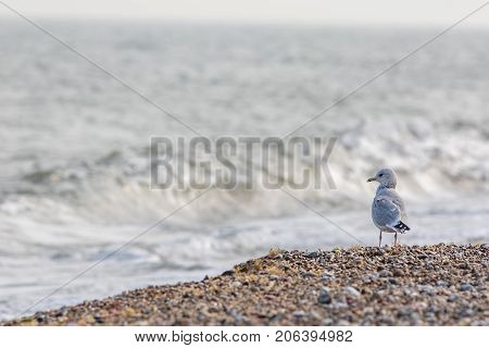 Solitary sea bird. Gull standing on the beach looking out across the ocean. Seaside poster image with copy space.