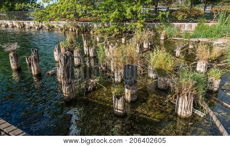 Plants grow out of old pilings at Gene Coulon Park in Renton Washington.