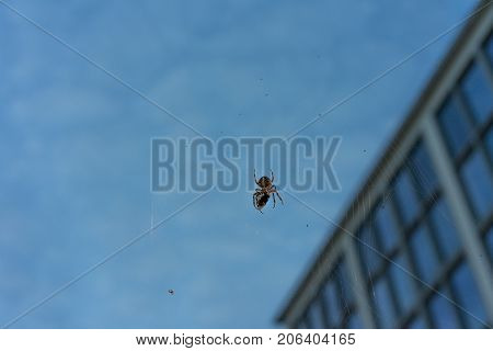 big spider in net with prey close up at evening night building in the background blue hour macro close up