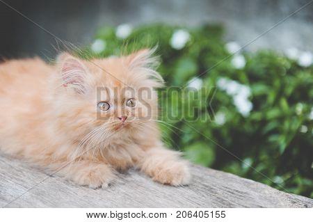 Red kitten persian cat resting in the garden