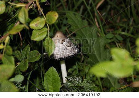 Close-Up of mushroom wild forest mushroom small mushroom fungi brown mushroom