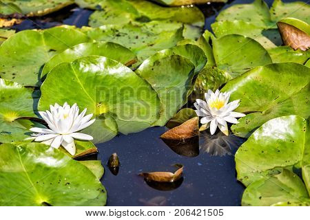 Closeup Of Two Blooming White Bright Lily Flowers With Pads In Pond