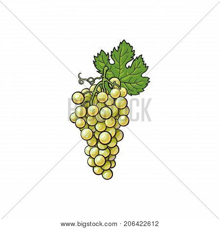 Ripe and juicy white grapes, vector illustration isolated on white background. Drawing of fresh white grapes hanging on a vine