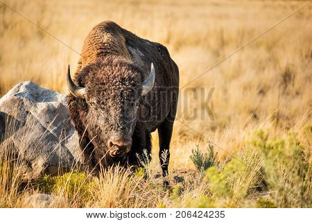 Bison Grazes On Grasslands By Rock Licking With Tongue Near Great Salt Lake, Utah On Antelope Island