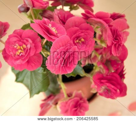 Tender Fresh Pink Begonia  Terry Flowers And Petals  Bush In A Tub On A Light Wooden Table Top