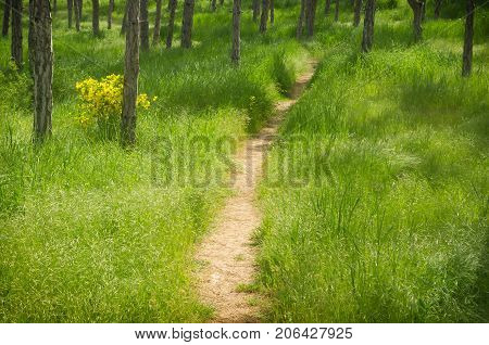 footpath in spring Park.lush green grass in the pine spring Park.