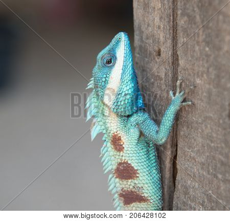 image of macro blue chameleon on the tree Natural color change