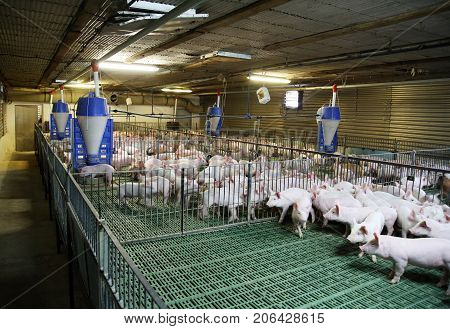 Young domestic breed piglets growing on modern animal farm