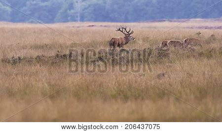 Red Deer Stag With Hinds In Field In Rutting Season.