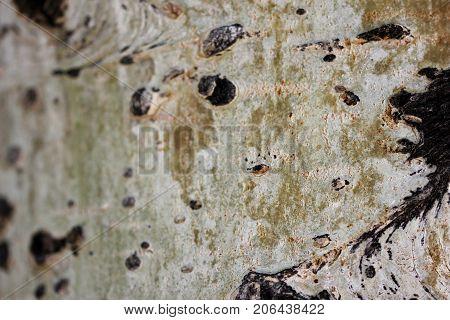 Aged Aspen tree trunk macro background texture