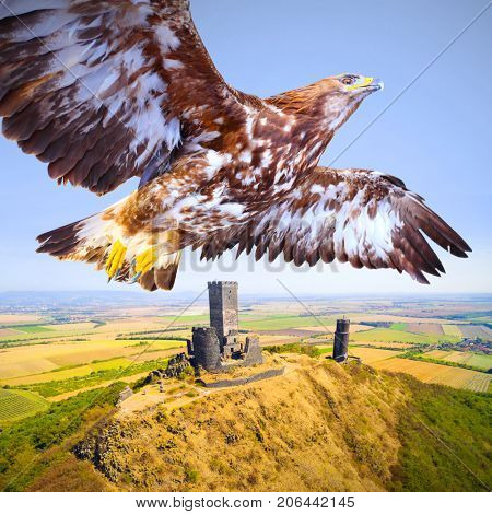 Flying Eagle over medieval castle Hazmburk - Klapy nearby Prague in Czech Republic. Central Europe. Meeting in the air. Wildlife from drone.