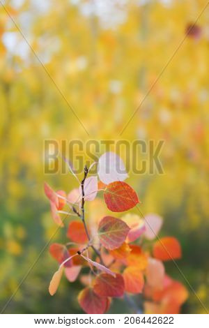This is the picture of Aspen tree with golden yellow leaves from Aspen Colorado.