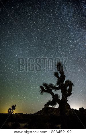 The night sky peppered with thousands of stars which hangs vertically over a Joshua Tree in Joshua Tree National Park.