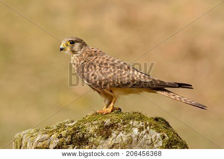 beautiful female Common Kestrel (Falco tinnunculus) standing on fence