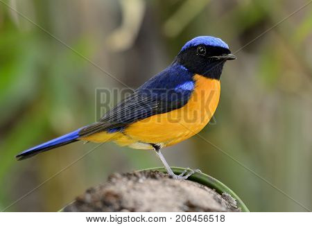 beautiful male Rufous-bellied Niltava (Niltava sundara) in Thai forest