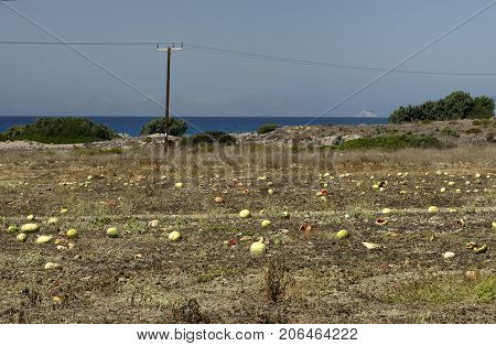 Plantation with overripe watermelons at the end of September in Rhodes against the background of the sea (Greece).