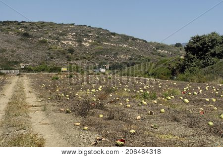 Overripe watermelons at the end of September in Rhodes on a background of mountains (Greece).