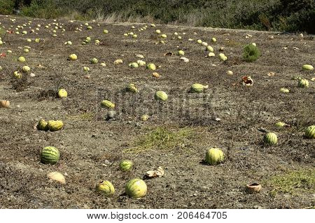 Overripe watermelons at the end of September in Rhodes (Greece).
