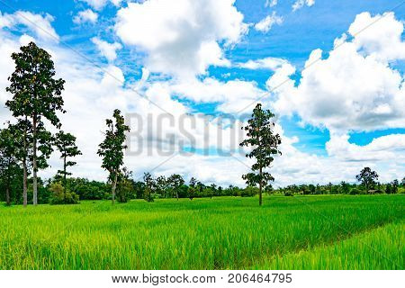 Rice field and tree with blue sky and clouds in the northeast of Thailand