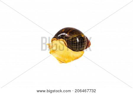 Single Snail with a beautiful shell,nice coloring,close up isolated on the white background