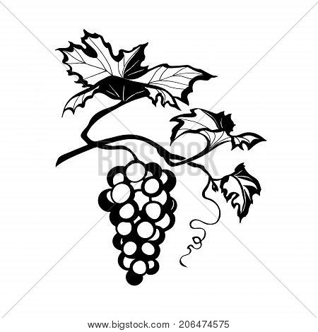 vector illustration of grapes, image branches of grapes vines