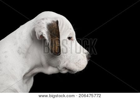 Close-up Portrait of an American Staffordshire Terrier Puppy, on Isolated Black background, profile view