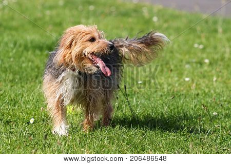 A hairy black and tan terrier type dog, panting with tongue out
