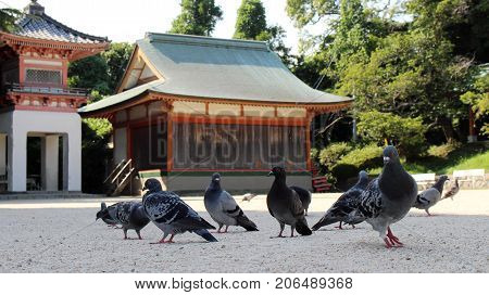 A Kit Of Pigeons (or Doves?) Hanging Around Japanese Shrine
