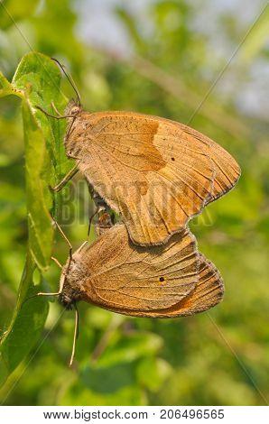 Meadow brown butterflies maniola jurtina mating. Butterfly in love in the bush