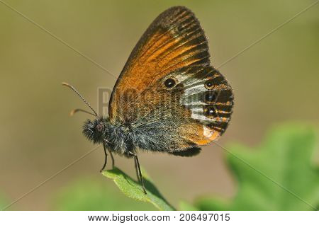 The Coenonympha arcania or Pearly Heath butterfly on a green leaf close up
