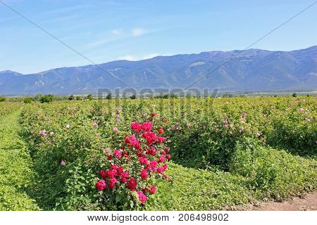 Rose bushes in a field in Rose Valley, Bulgaria