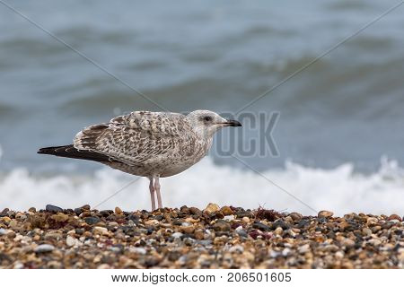 Seabird. Juvenile sea gull. Young bird in profile on the coast. Coastal wildlife on the beach at the seaside.