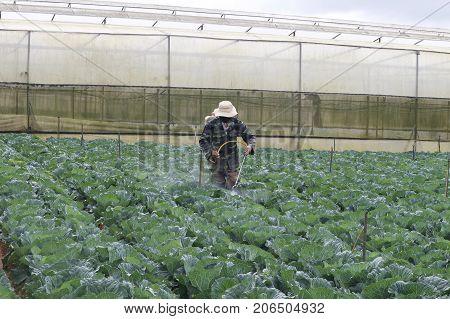 Dalat, Vietnam, September 24,2017: Farmer pray insecticide on cabbage field