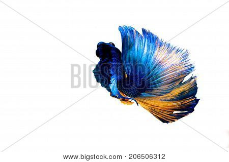 Fighting Fish Isolated On White Background. Betta Fish