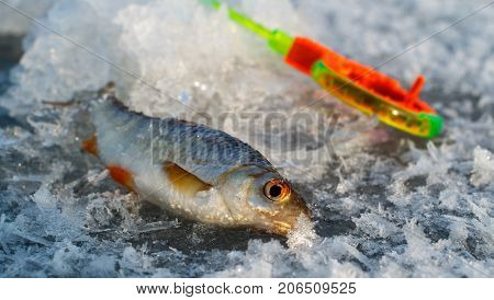 Ice fishing caught fish on a background of fishing rods